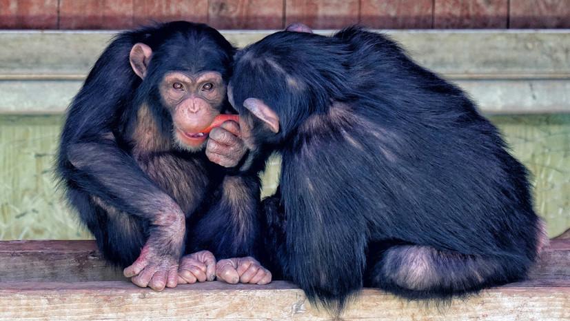 СК возбудил дело после нападения обезьяны на ребёнка в Архангельске