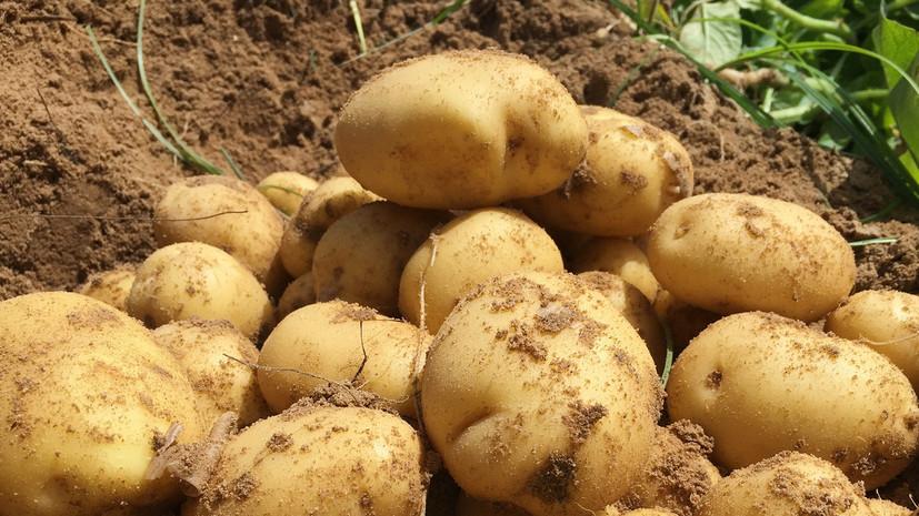 Россельхознадзор запретил ввоз 140 тонн заражённого картофеля из Египта