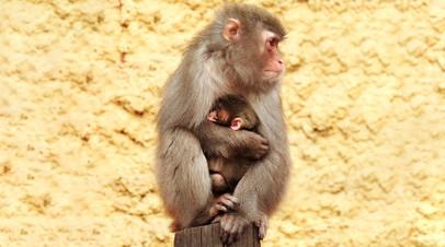 В Московском зоопарке родился детёныш японского макака