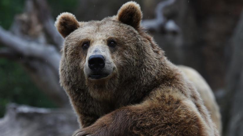 В Германии из зоопарка убежали львы, тигры, ягуар и медведь