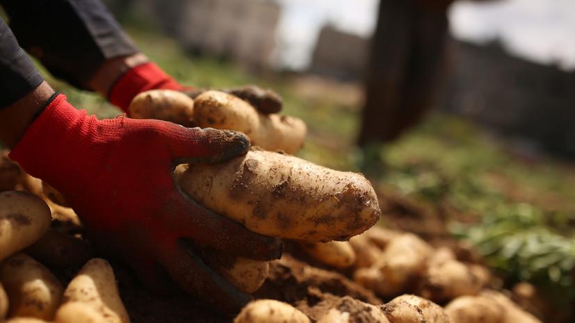 Россия с 6 июня возобновляет импорт картофеля из ряда регионов Египта