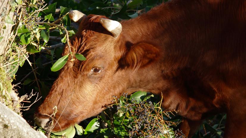 В Болгарии намерены усыпить корову из-за незаконного пересечения границы ЕС