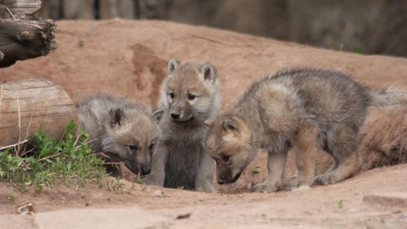 Пять полярных волчат родились в зоопарке Ижевска