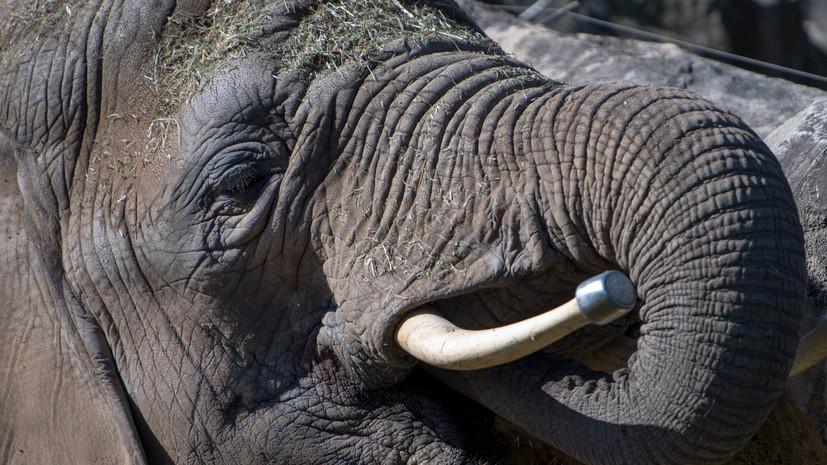 Живший на ранчо Майкла Джексона слон сбежал из своего вольера в зоопарке Флориды