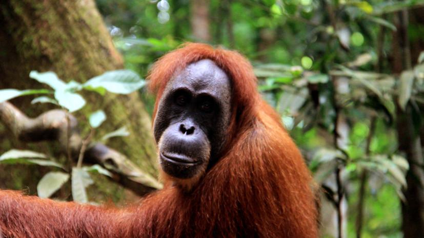 Самый старый орангутан на планете умер в зоопарке Австралии