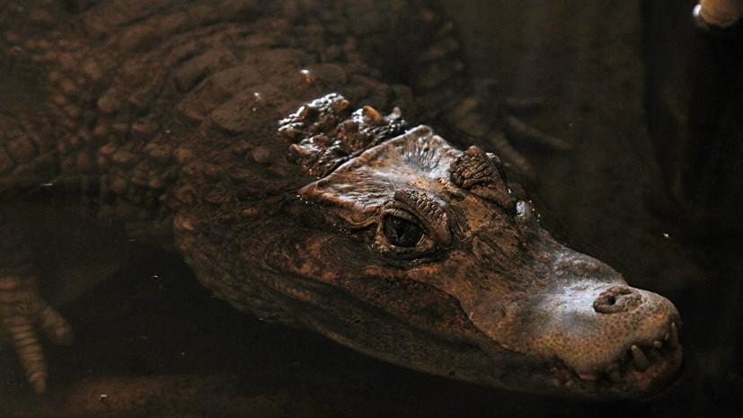 Крокодила Гену из мясного отдела камчатского рынка отправят в зоопарк