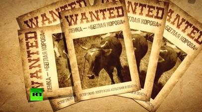 Бурёнка-«нелегал»: в Болгарии хотят усыпить корову за незаконное пересечение границы