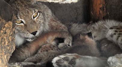 Московский зоопарк сообщил о рождении четырёх восточносибирских рысят