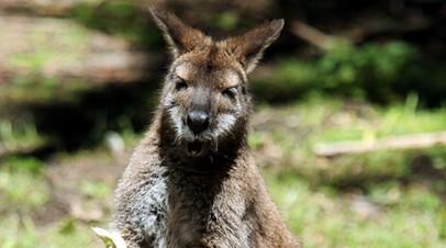 Сбежавшего из французского зоопарка кенгуру нашли спустя почти два месяца