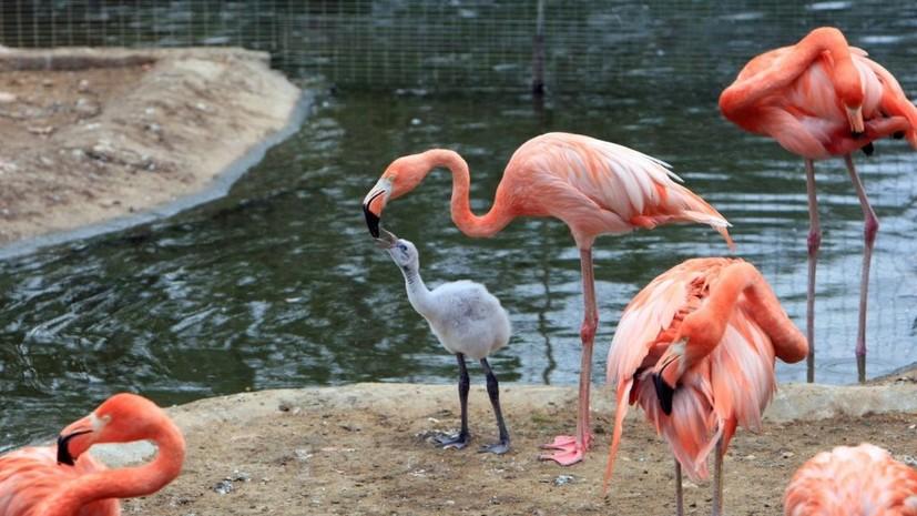 В Московском зоопарке появились первые птенцы розового фламинго