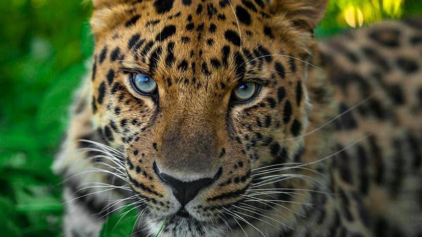 «Пятнистый фестиваль» в честь леопардов пройдёт 15 июля в Сочи