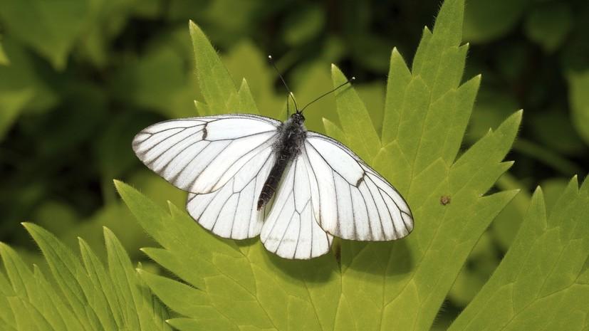 В Хабаровском крае нашли редкую для региона бабочку