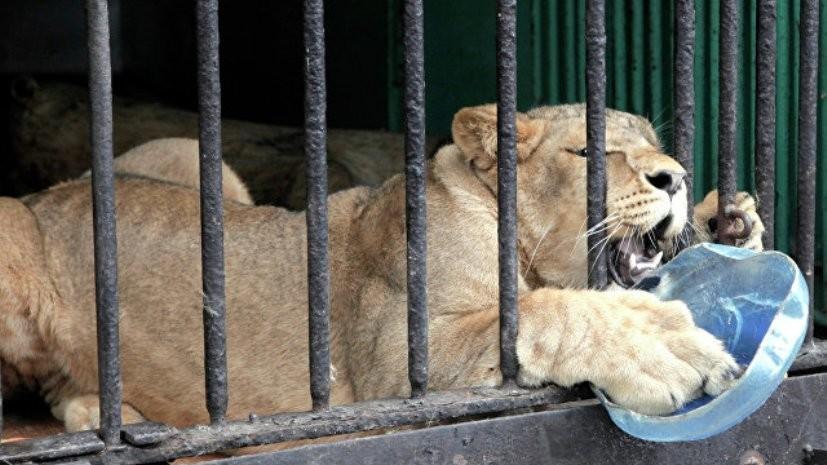 Для животных Ленинградского зоопарка готовят ледяные «торты» из-за жары