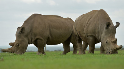 Две последние представительницы подвида белых носорогов — Наджин и Фату