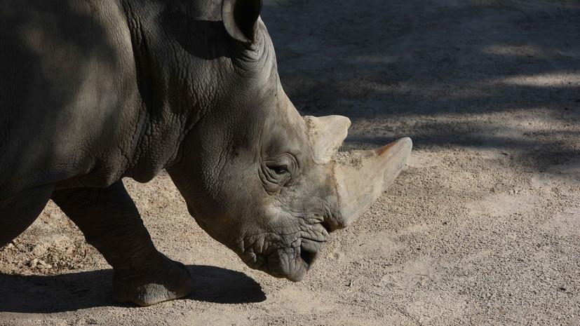 В британском зоопарке родился чёрный носорог