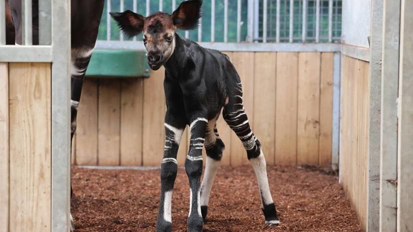 В зоопарке Франции родился детёныш окапи