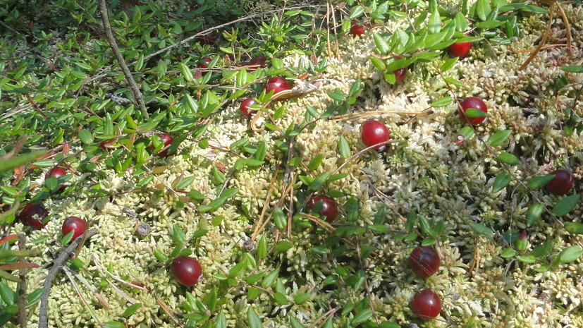 В Подмосковье впервые за 100 лет нашли краснокнижную ягоду