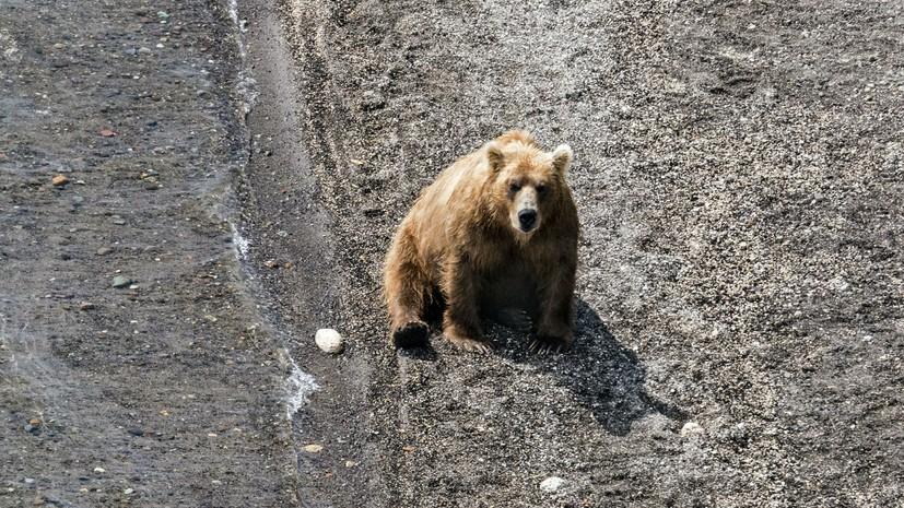 В центре Архангельска застрелили напавшего на человека медведя