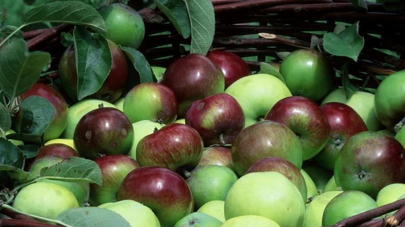 «Роскачество» рассказало, как правильно выбирать яблоки