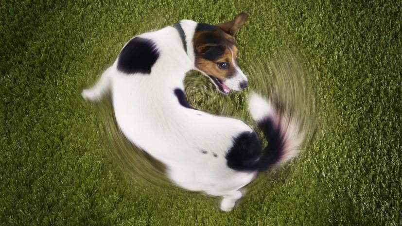 СМИ: Учёные выяснили причину преследования собаками собственного хвоста