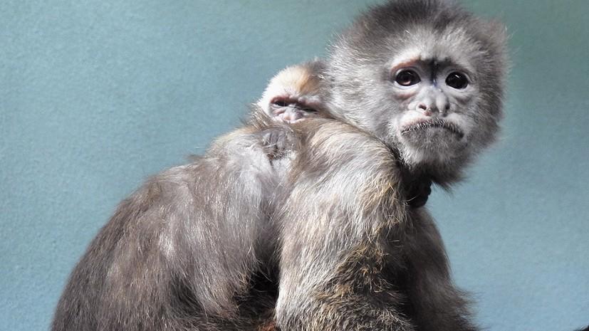 В Московском зоопарке родился краснокнижный капуцин-плакса