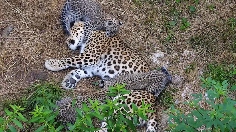 В Сочи дали имена котятам переднеазиатского леопарда
