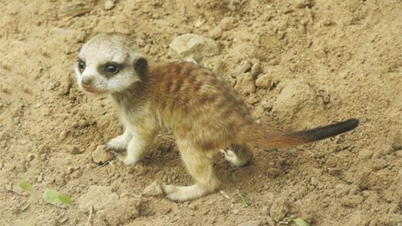 В Московском зоопарке родились три детёныша суриката