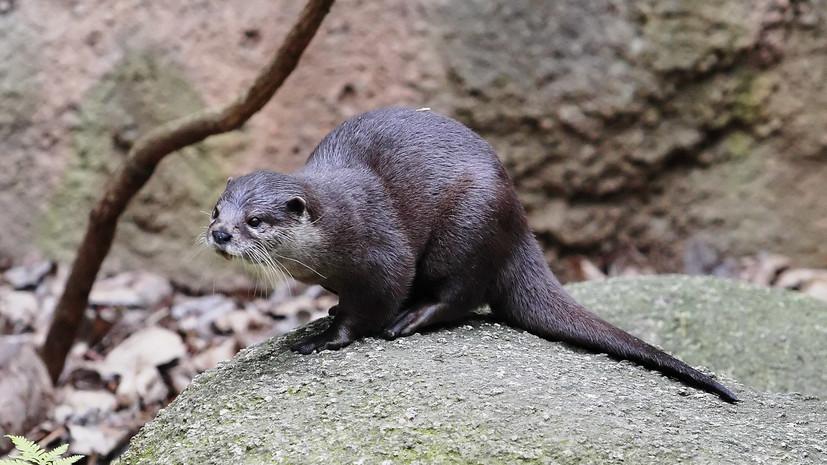 Азиатских бескоготных выдр привезли в Новосибирский зоопарк из Чехии