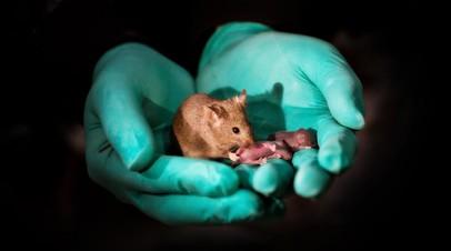 Взрослая мышь с геномами двух матерей, давшая собственное потомство