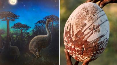 Слоновые птицы в представлении художника; одно из яиц слоновых птиц, которые по объёму были в 160 раз больше куриных