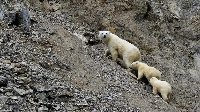 Около 20 белых медведей «осадили» чукотское село
