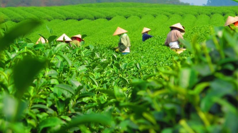 В Краснодарском крае рассказали о развитии чаеводства