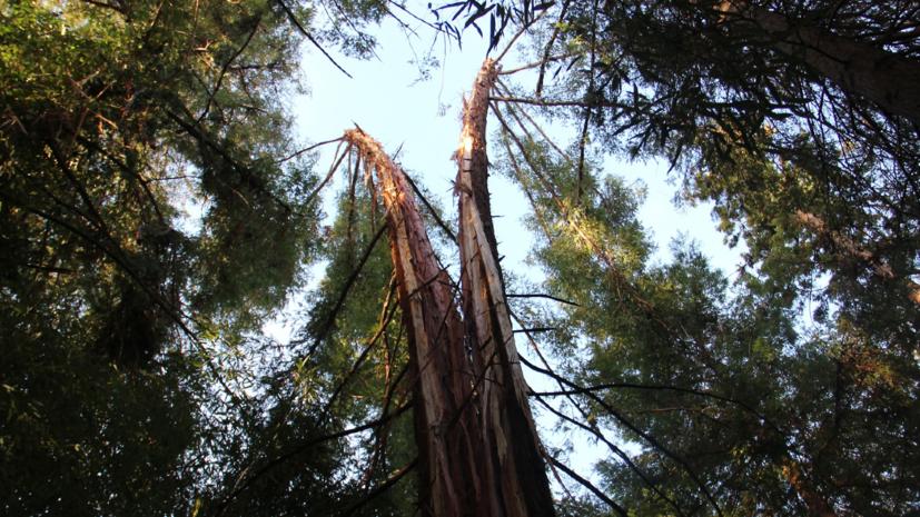 Молния расколола пополам 72-летнюю секвойю в Сочи
