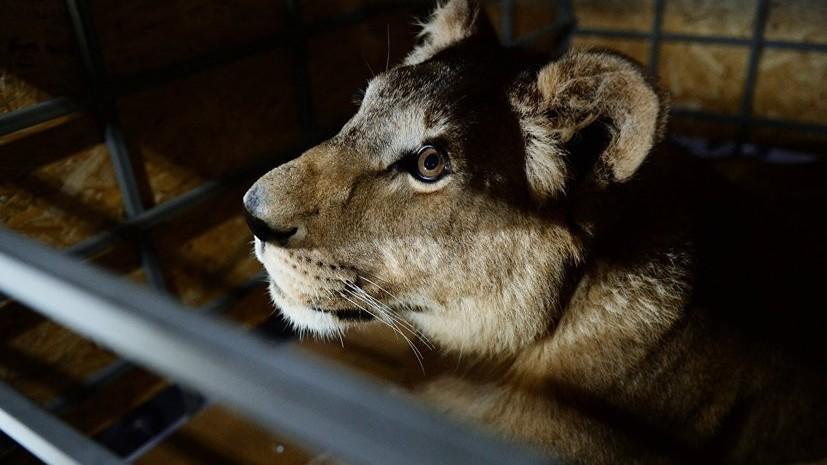 Директору цирка на Кубани грозит до шести лет лишения свободы по делу о нападении львицы на ребёнка