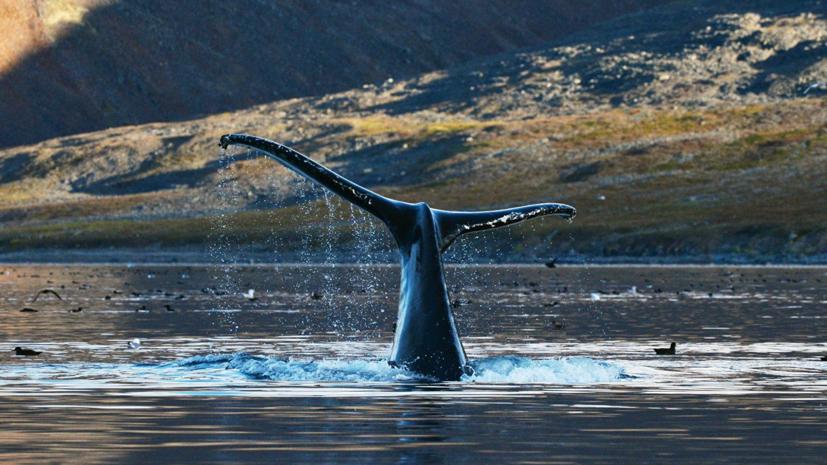 Эксперт прокомментировал решение Японии выйти из Международной комиссии по промыслу китов