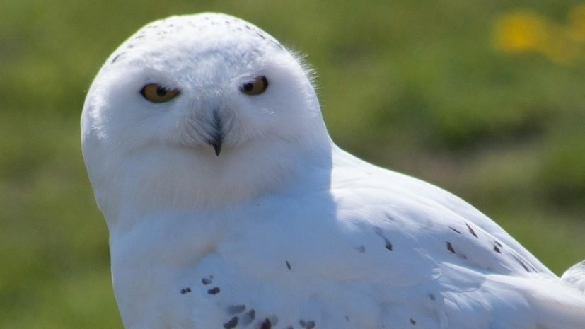 В «Сокольниках» заметили полярную сову
