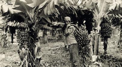 Работы по сбору бананов на предприятиях United Fruit Company