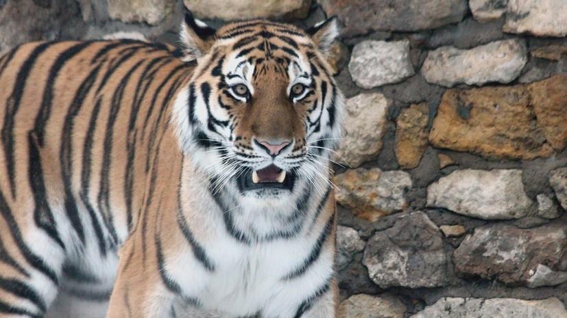 В Приморском крае оказали медпомощь нападавшему на собак амурскому тигру