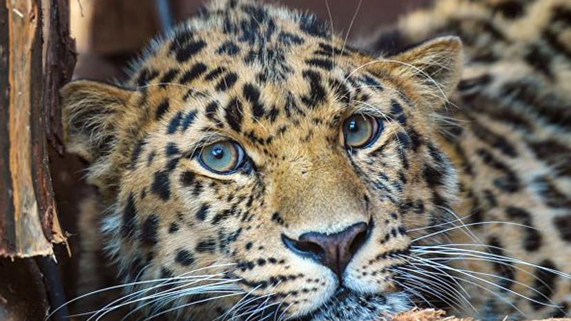 В один из отелей Индии зашёл леопард