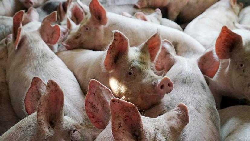 В одном из районов Приморья зафиксировали вспышку свиного ящура
