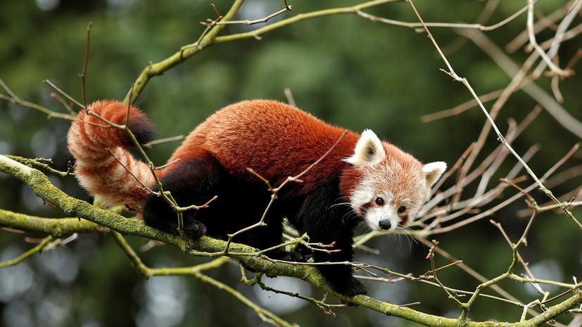 В зоопарке Белфаста заявили о пропаже красной панды