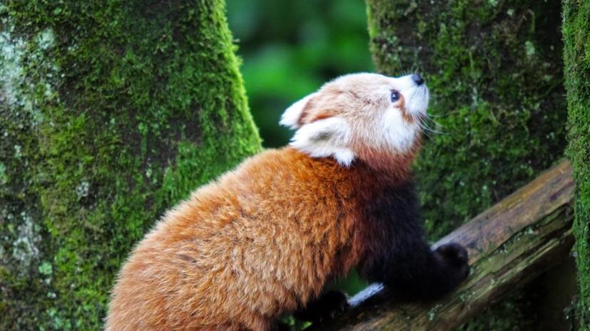 Сбежавшая из зоопарка Белфаста красная панда найдена