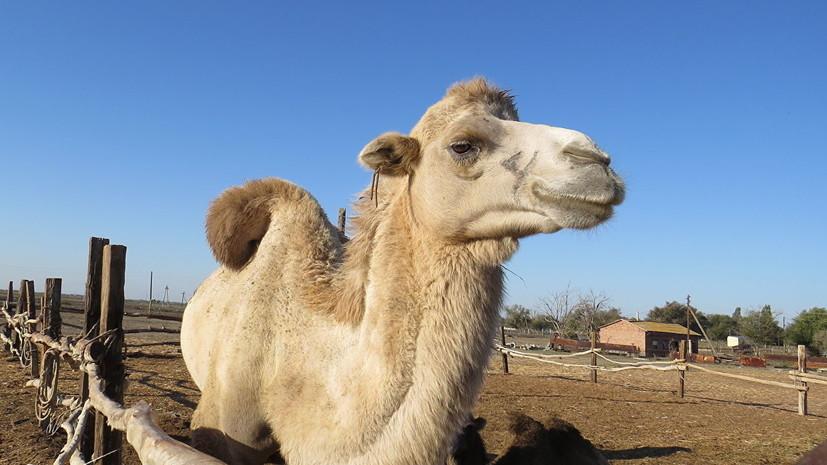 Россельхознадзор ограничил ввоз в Россию верблюдов из двух регионовФРГ