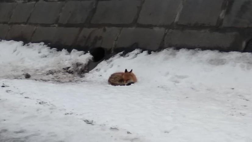 В Москве спасли застрявшую на льдине лису