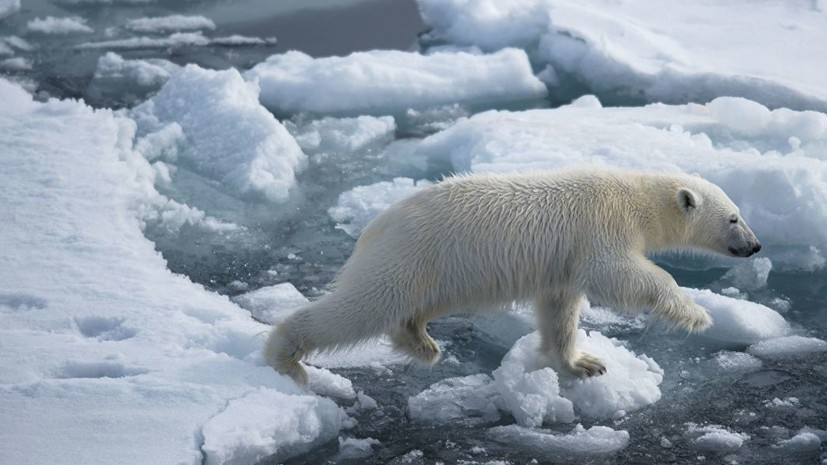 На Новой Земле ввели режим ЧС из-за нашествия белых медведей