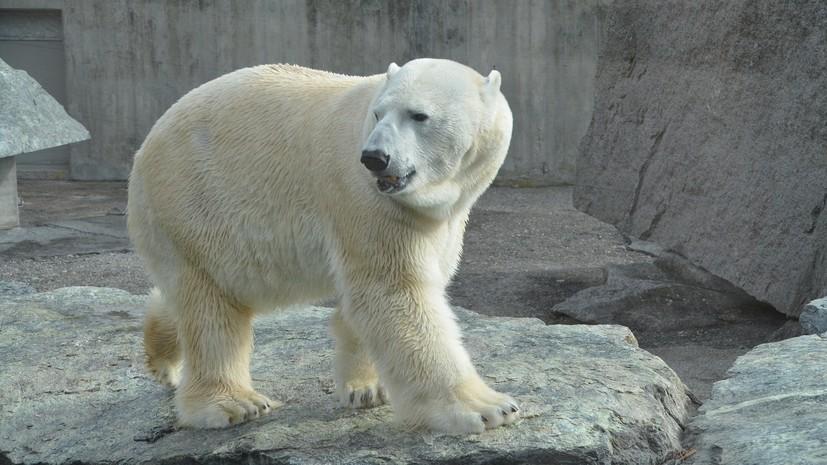 На Новой Земле белых медведей вывезут за пределы поселений
