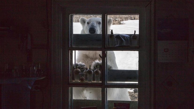 Росприроднадзор создал рабочую группу из-за ЧС с белыми медведями на Новой Земле