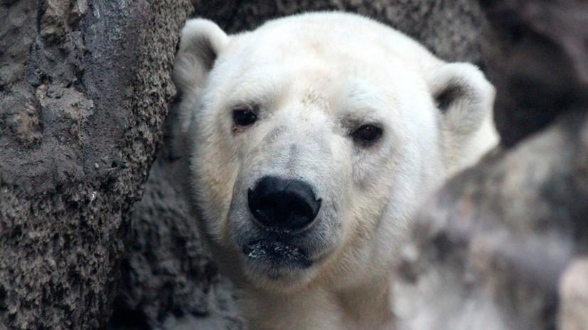 WWF предложил решение проблемы нашествия белых медведей на Новой Земле