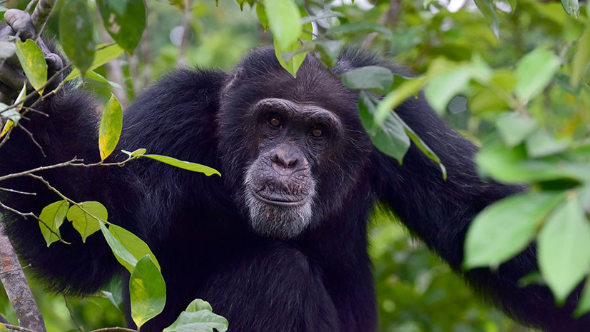 По законам лингвистики: речь людей и язык жестов шимпанзе подчиняются общим правилам