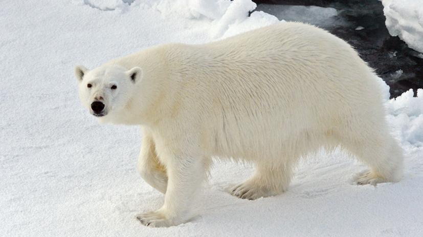 Власти заявили о снижении числа белых медведей вблизи посёлка на Новой Земле